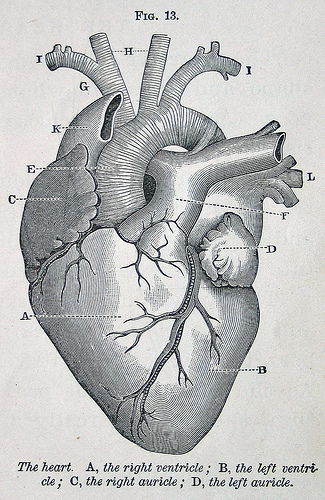 Human heart anatomy vintage - photo#22